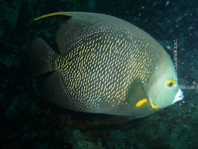 Angel fish, Guadeloupe